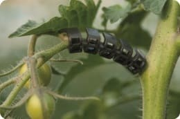 Tomato truss support