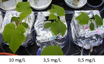 Influence of oxygen on cucumber growth
