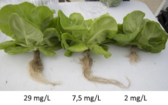 Influence of ocygen on the growth of lettuce