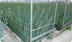 Carnation gauze