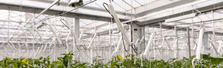 tomato hooks in greenhouse