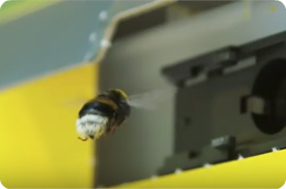 How does pollination with bumblebees in greenhouses work?