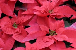 Poinsettia dazide enhance