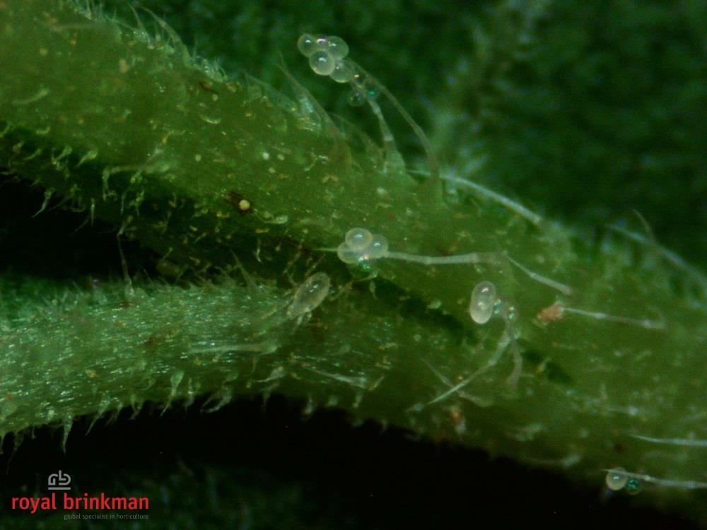 MONcontrol [50.000/koker] (AB1) (Transeius montdorensis)