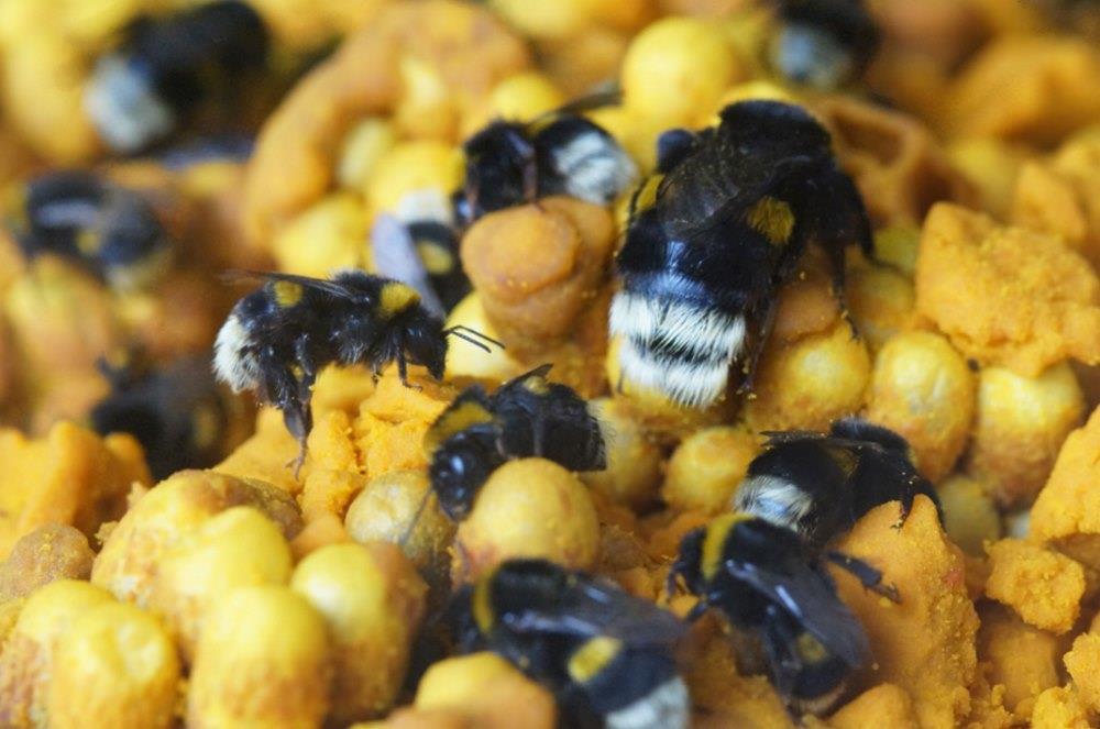Bumblebee hive (sugar bag)