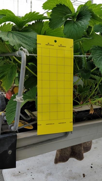 Sticky trap yellow[10x25cm] 10 pcs