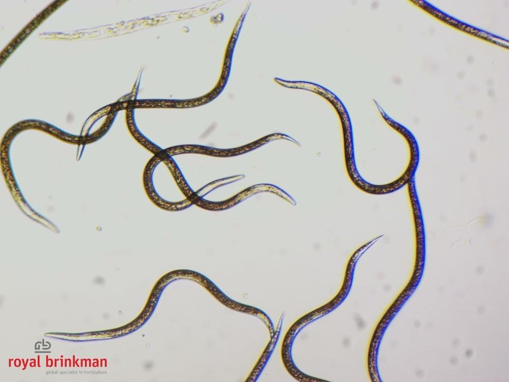 NEMAcontrol feltiae (gel formulation) [250 million] (RB)