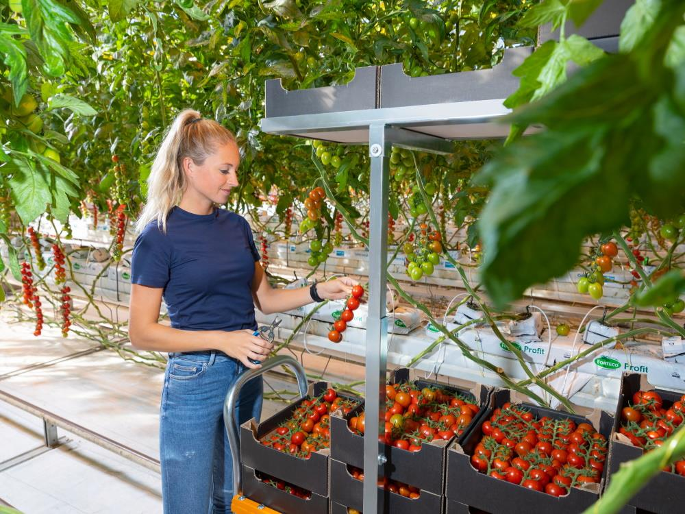 Rolling harvest rack for cluster tomatoes - 182cm (ctc 55/51