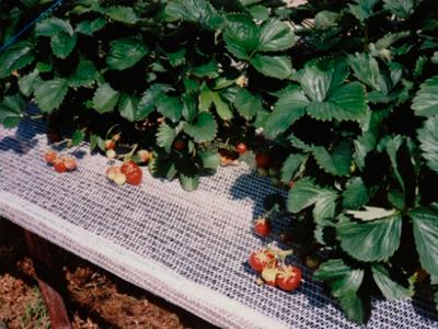 strawberry support net 12cm white 1000m