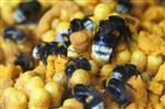 Bumblebee [summer hive]