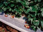 Strawberry support net 12cm white 1000m
